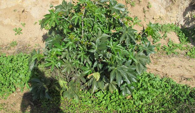 calendula_plant_RootsRoseRadishblog